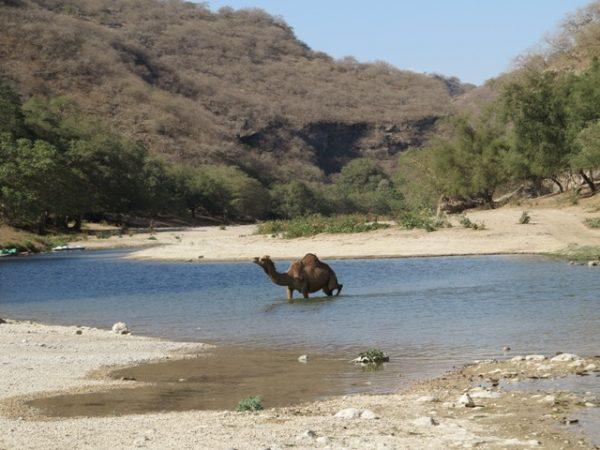 گزارش سفر به: جنگلهای شبه جزیره عربستان- ظفار