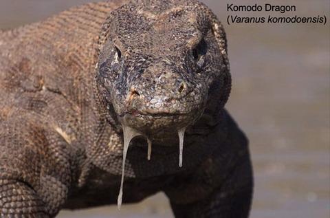 Komodo 03 (1)