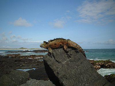 galapagos_iguana1
