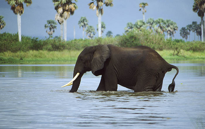 Elephant crossing the Rufiji River, Selous Game Reserve, Tanzania, East Africa