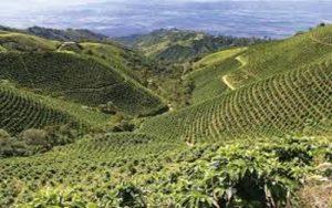 مناظر کاشت قهوه در کلمبیا