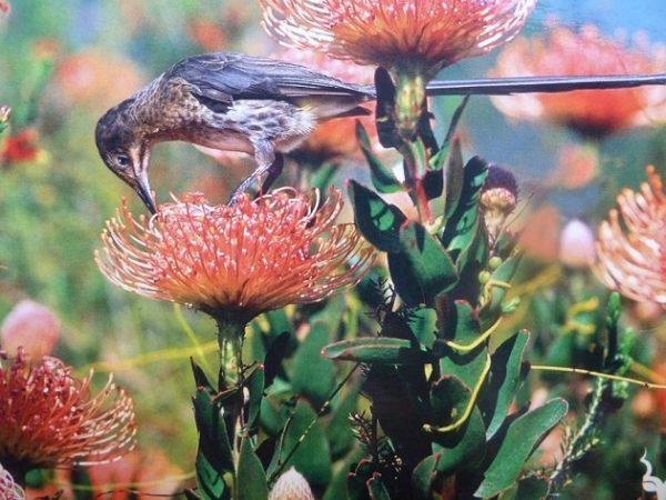 مناطق حفاظت شده تنوع گیاهی کِیپ